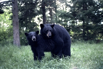 Bears mating