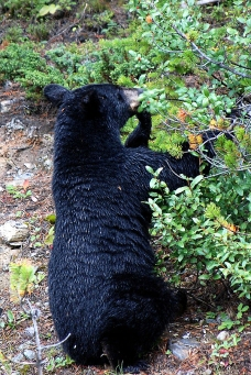 A black bear eating huckleberries