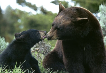 A bear mother with her yearling cub