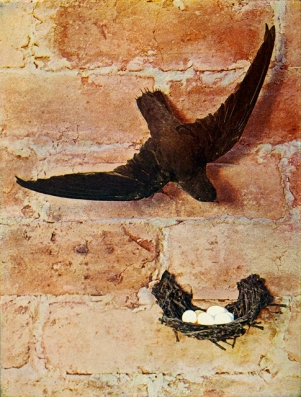 A chimney swift gripping the wall of a chimney above its nest