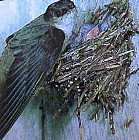 An adult chimney swift feeding its nestlings