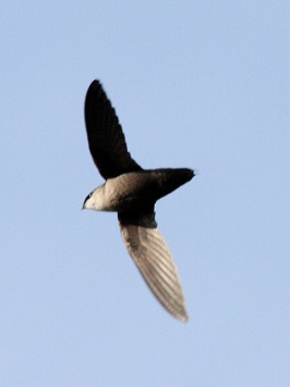 A chimney swift flying overhead