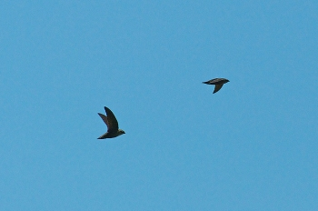 A pair of chimney swifts flying over a park in Miami