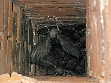 Chimney swifts roosting communally in a chimney in Missouri on October 4, 2010