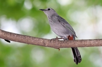 A gray catbird in Washington, D.C.