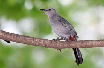 A gray catbird in Washington, D.C.