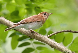 A veery photographed in Chester County, PA, on June 2, 2011