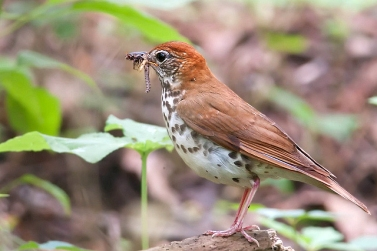 A wood thrush on its breeding ground in Chester County, PA, June 20, 2010