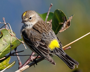 A yellow-rumped warbler in winter plumage photographed at the Wakodahatchee Wetlands, South Florida, Feb. 7, 2016