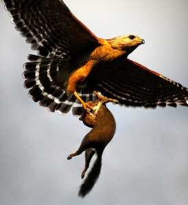 A red-shouldered hawk carrying a squirrel to its young