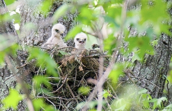 Red-shouldered hawk chicks in a nest