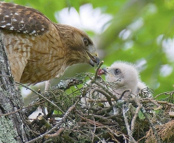 A red-shouldered hawk feeding its baby