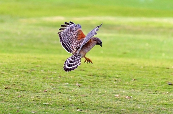 A red-shouldered hawk hunting