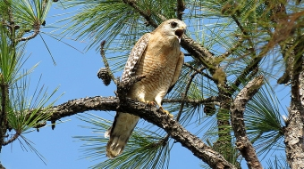 A red-shouldered hawk perched in a pine tree, Nov. 28, 2015