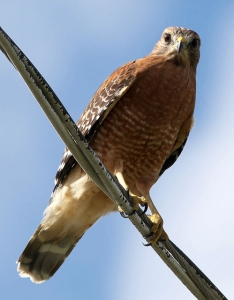 A red-shouldered hawk looking down from cables directly overhead