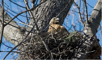 A red-shouldered hawk on a nest