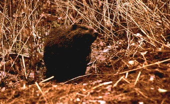 A beaver near our house in Plummer's Hollow, February 2000 (Photo by Bruce Bonta)