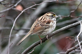 An immature white-throated sparrow