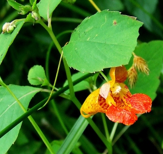 Orange jewelweed (Photo by Dave Bonta on Flickr)