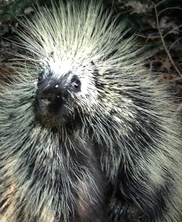 Close-up of a porcupine (Photo by Dave Bonta on Flickr)