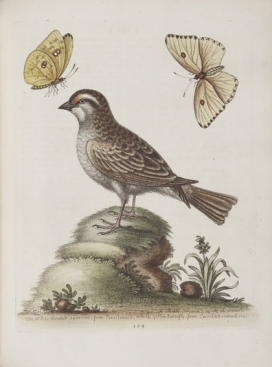 """The White Throated Sparrow, from Pensiluania, and the Yellow Butterfly, from Carrolina,"" plate 304 in Gleanings of Natural History (1758) by George Edwards (In the public domain)"