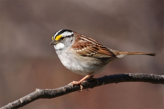 A white-throated sparrow in Quebec