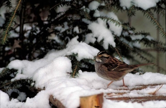 A white-throated sparrow in the snow