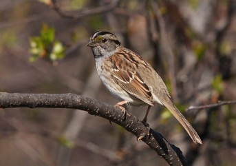 A brown and tan striped morph of a white-throated sparrow