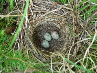 A white-throated sparrow nest with eggs
