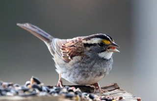 A white-throated sparrow on a bird feeding platform