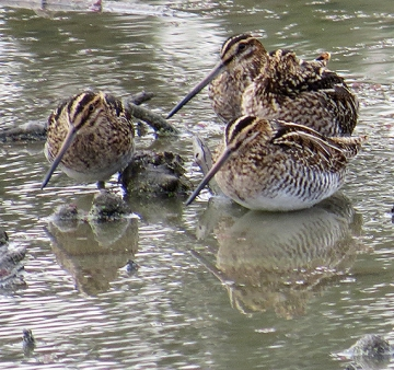 A group of snipes in a pond