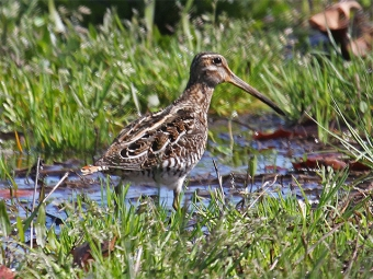 A Wilson's snipe found in a North Carolina marsh