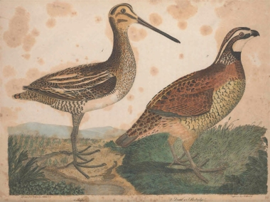 A Wilson's snipe and a northern bobwhite, from Alexander Wilson, American Ornithology: or, the Natural History of the Birds of the United States (1812), volume 6 plate [47]. In the public domain