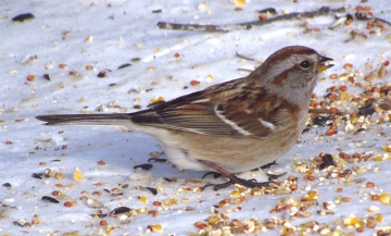 An American tree sparrow