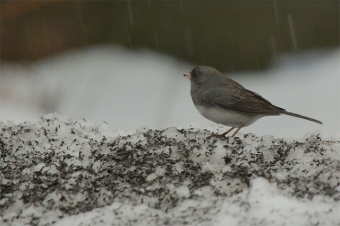 A dark-eyed junco