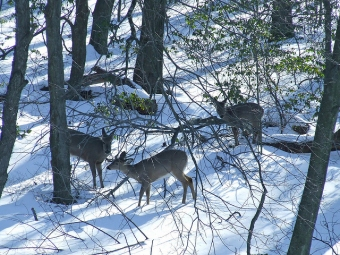 Three does foraging at the edge of the woods (Photo by Dave Bonta)