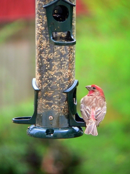 A house finch