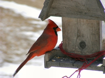 A male northern cardinal (Photo by Torindkfit in Wikimedia, Creative Commons license)