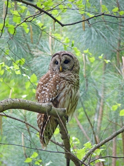 A barred owl in the spring