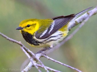 A black-throated green warbler (Photo by Dan Pancamo on Flickr, Creative Commons license)