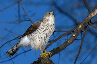 A cooper's hawk in a deciduous woods