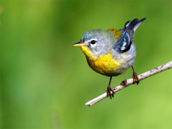 A northern parula (Photo by Dan Pancamo in Wikimedia, Creative Commons license)