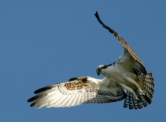 An osprey hovering at the John Heinz National Wildlife Refuge in Philadelphia (Photo by Ron Holmes/U.S. Fish and Wildlife Service, Creative Commons license)