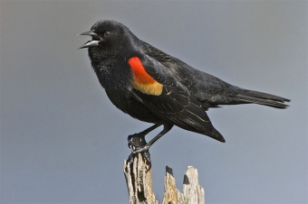 "A red-winged blackbird calling its ""cheer-i-lee"" song (Photo by Alan D. Wilson in Wikimedia, Creative Commons license)"