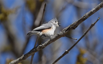 A tufted titmouse singing