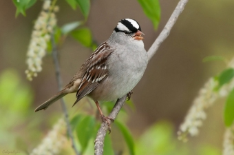 The white-crowned sparrow, the symbol of our team, photographed by Kelley Colgan Azar in Chester County, PA (Creative Commons license)