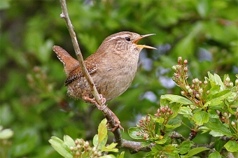 A winter wren singing