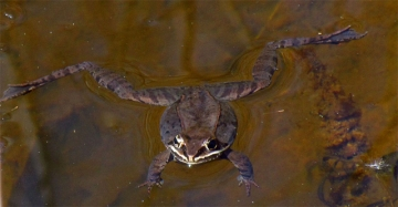 A wood frog floating during spring mating season (Photo by D. Gordon E. Robertson in Wikimedia, Creative Commons license)