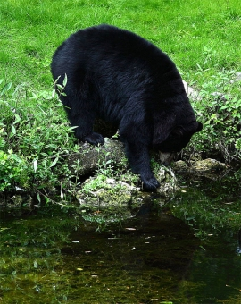 A black bear at a pond in West Virginia, April 21, 2010 (Photo by ForestWander in Wikimedia, Creative Commons license)