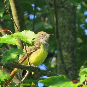 The great crested flycatcher likes to nest in a mixed deciduous forest